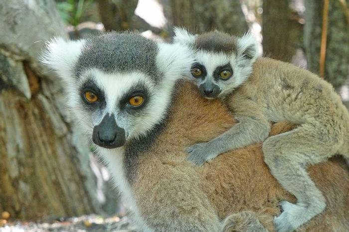 Ring-tailed Lemur & baby (Cathy Harlow)