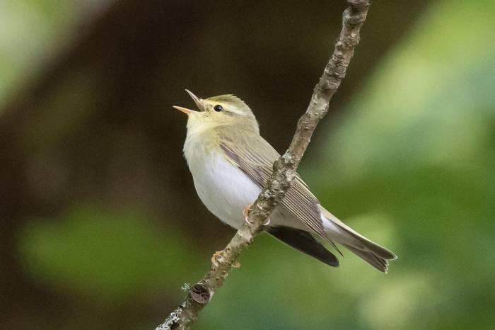 Wood Warbler (Chris Hutchinson).jpg