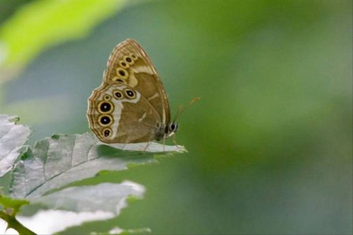 Woodland brown female (Tony Williams)