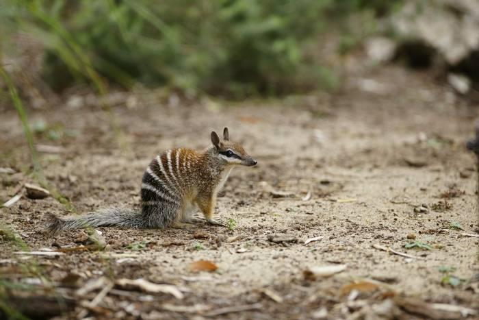 Numbat, Australia shutterstock_72221923.jpg