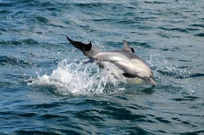 Common Dolphin (David Morris)