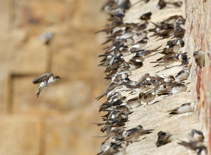 Sand and House martins