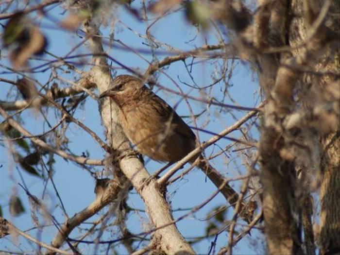 Striated Babbler (Thomas Mills)