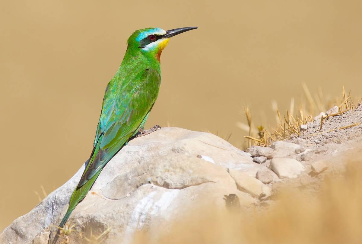 Blue-cheeked-Bee-eater-shutterstock_1457203595.jpg