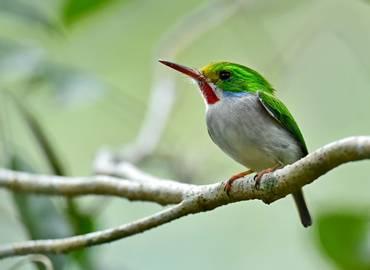 Birding in Cuba