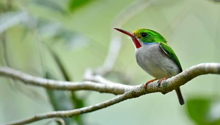 Cuban Tody, Cuba Shutterstock 281648213