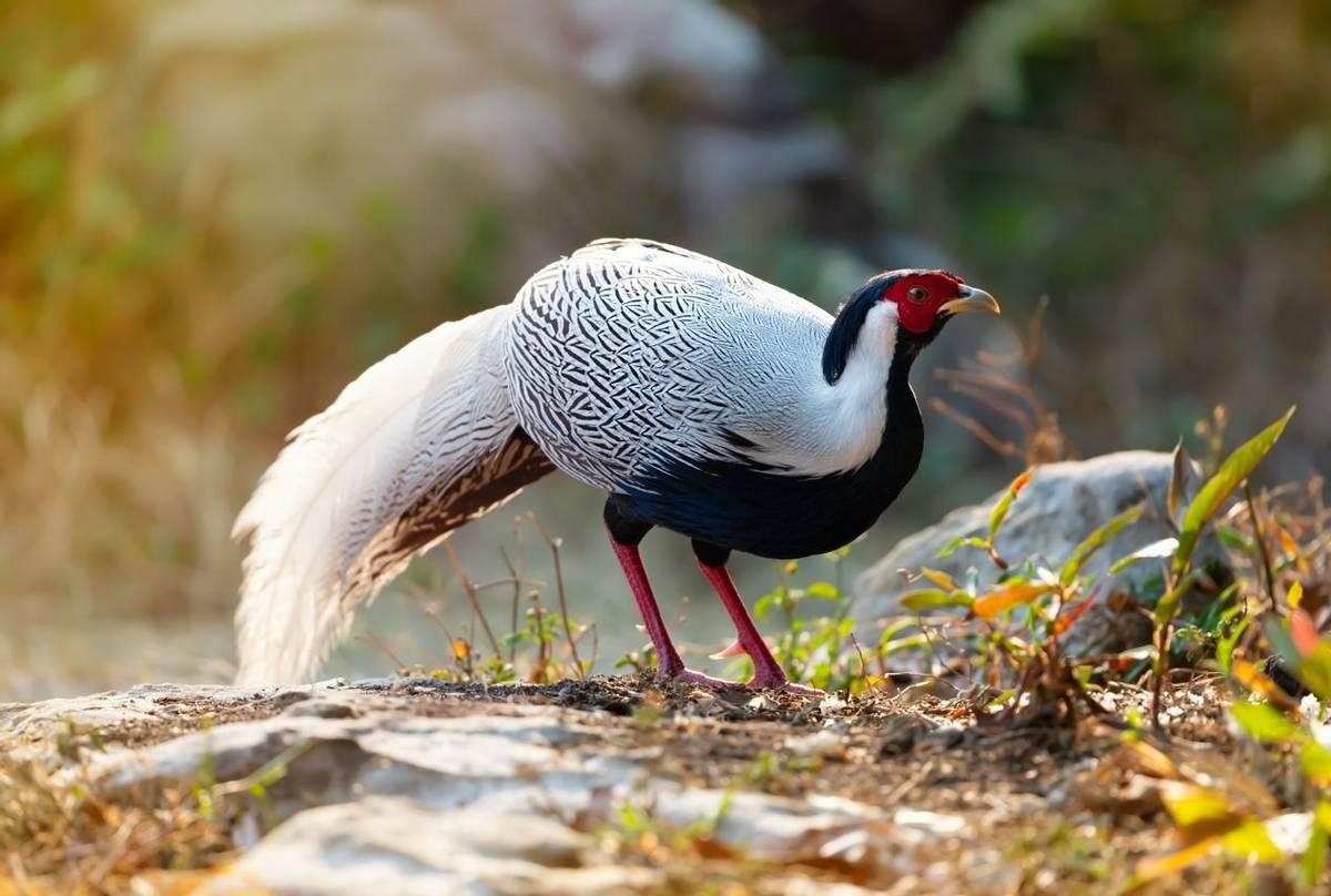Silver Pheasant Vietnam shutterstock_1346754701.jpg