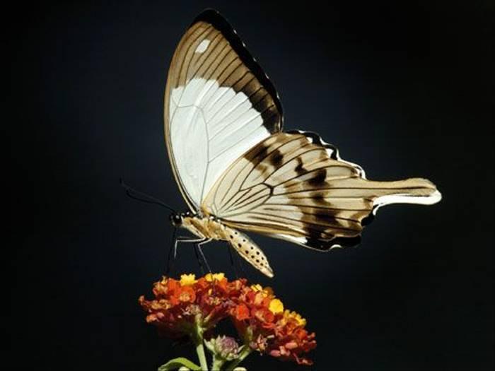 Mocker Swallowtail (Peter Price)