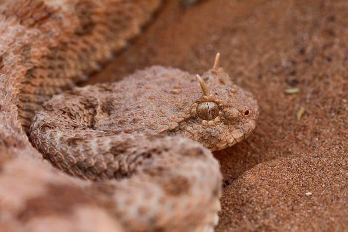 Desert Horned Viper (Ceratses cerastes)