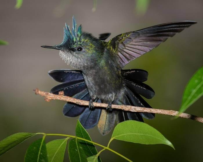 Antillean Crested Hummingbird, Puerto Rico shutterstock_1493131649.jpg