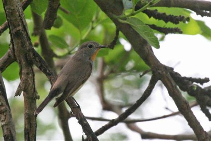 Red-throated Flycatcher (Julian Thomas)
