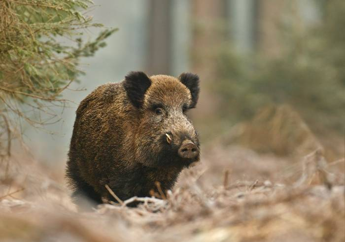 Wild Boar. shutterstock_108783398.jpg