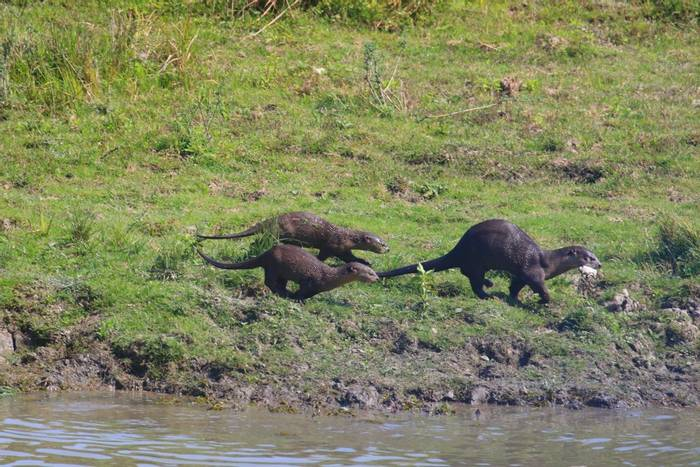 Smooth Coated Otter_SC197745.JPG