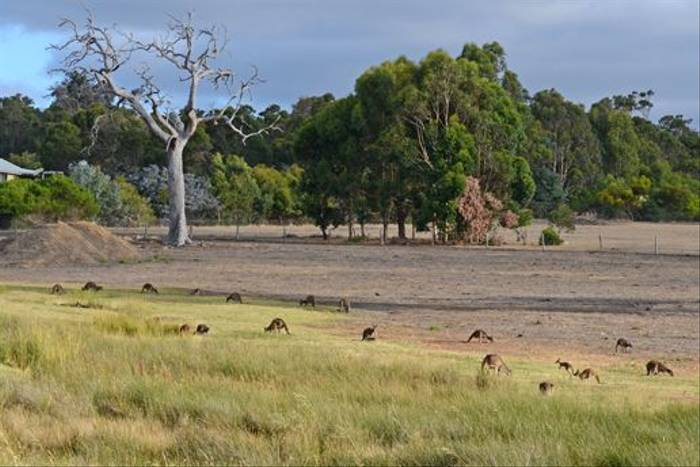 A mob of Kangaroos!
