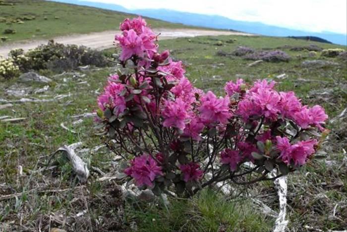 Rhododendron rupicola (Red form), Geza to Langdu (Phillipe de Spoelberch)