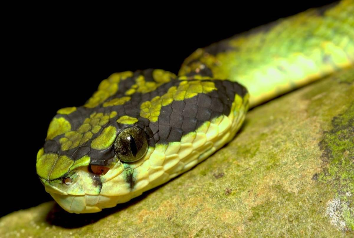 Sri Lankan Green Pit Viper, Sri Lanka