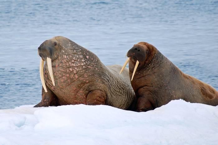 Walruses shutterstock_781276312.jpg