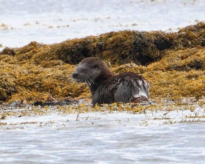 Otter (Mick Stallwood)