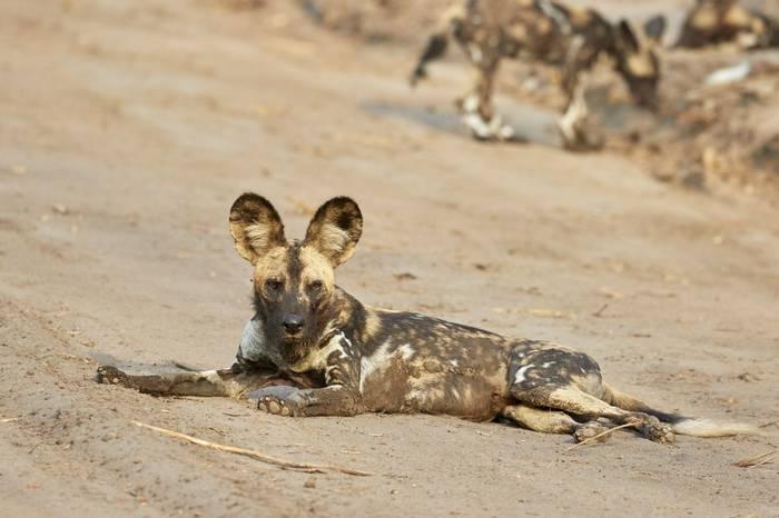 African Wild Dog (Andrew Griffin)