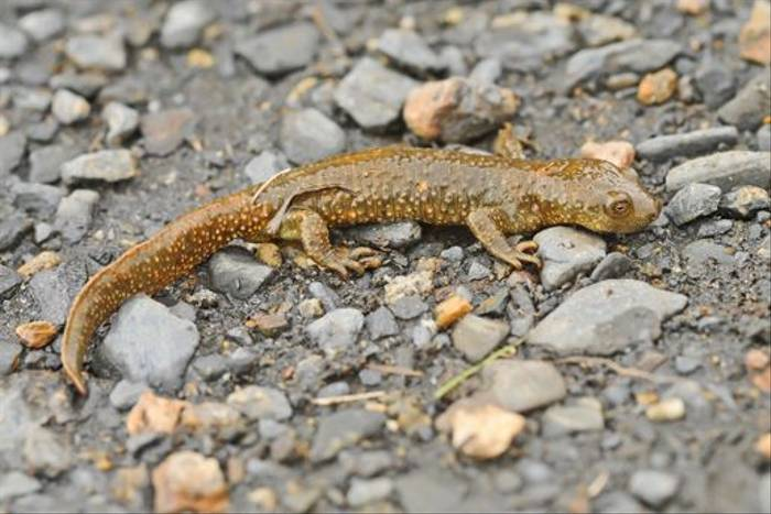 Pyrenean Brook Newt female (David Morris)