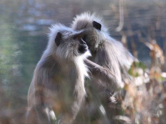 Grey Langur (Michael Haley)