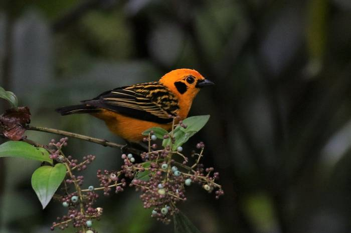 Golden Tanager  (Robin Smith)