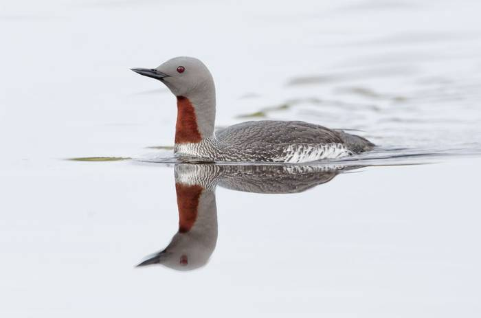 Red Throated Diver. Shutterstock 116488147