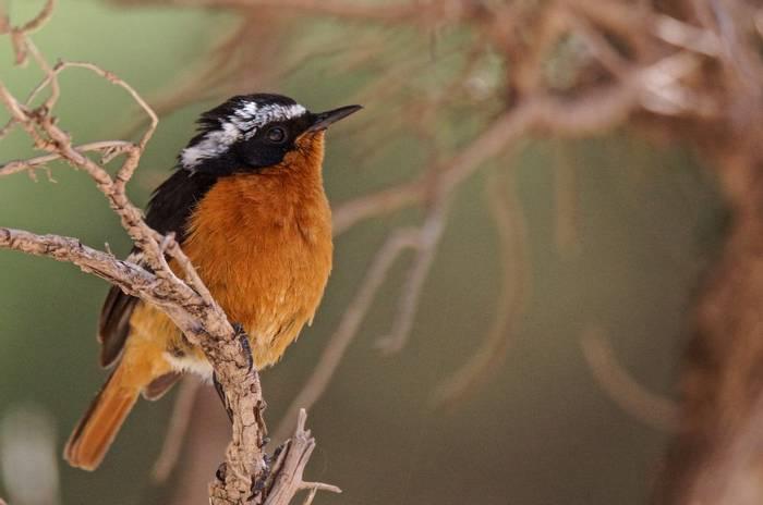 Moussier'S Redstart (Simon Tonkin)
