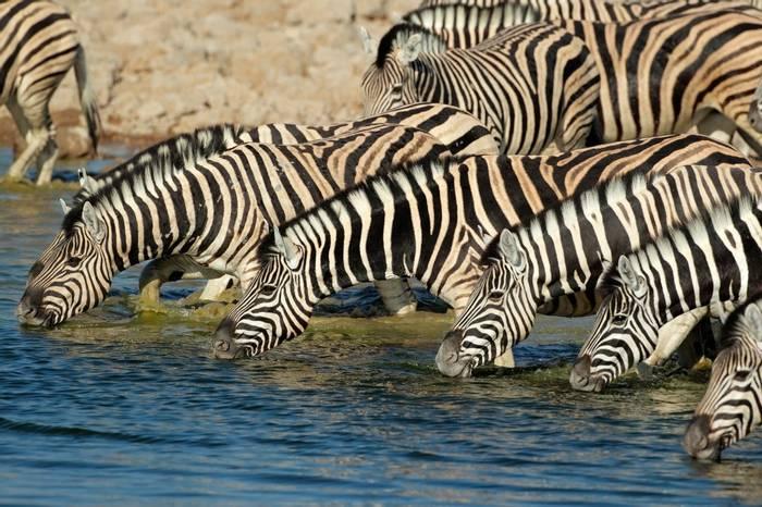 Plains Zebra, Etosha National Park