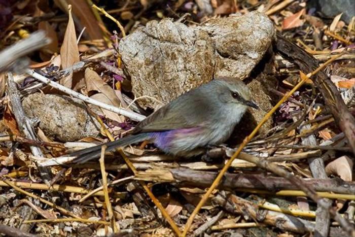 White-browed Tit Warbler, Ladakh (Russell Scott)