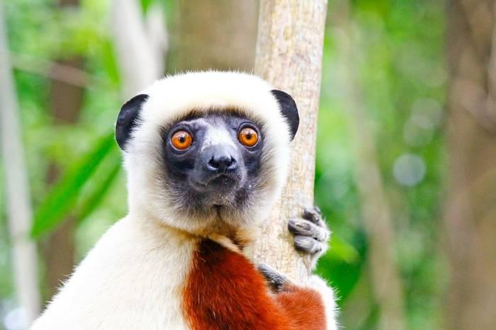 Coquerel's Sifaka, Madagascar shutterstock_1319603828.jpg