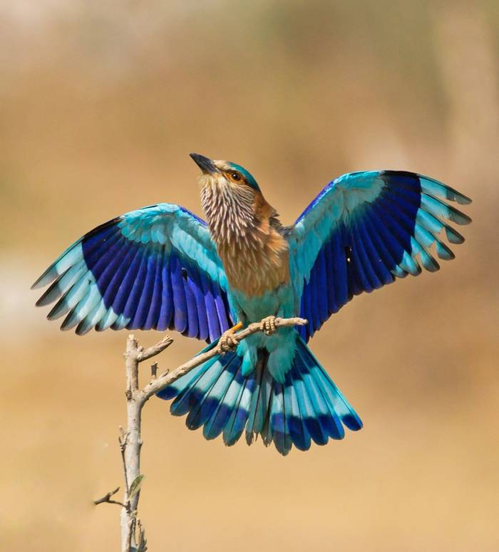 Indochinese Roller, Cambodia