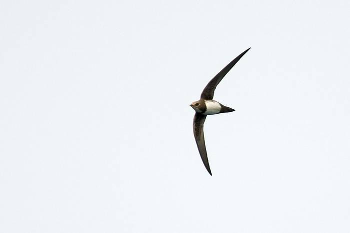 Alpine Swift (Mike Vickers)