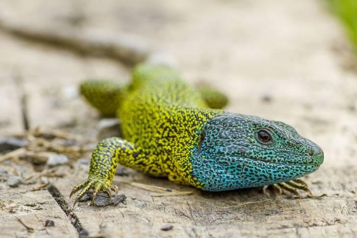 Schreiber's Green Lizard (Lacerta schreiberi), Portugal_shutterstock_1034449348.jpg