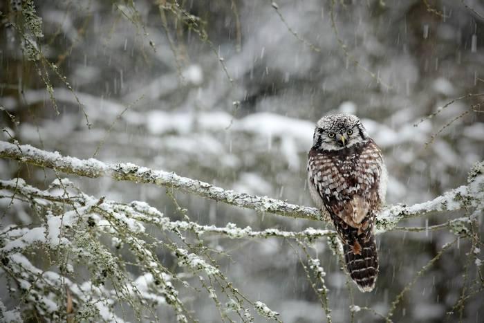 Hawk Owl, Sweden shutterstock_237402130.jpg