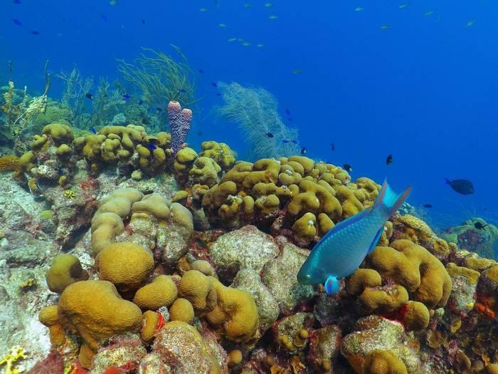 Parrotfish, Puerto Rico shutterstock_1308368620.jpg