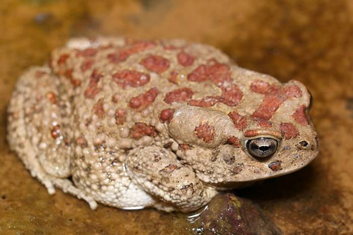 Moroccan toad (Sclerophrys mauritanica) - Dan Kane