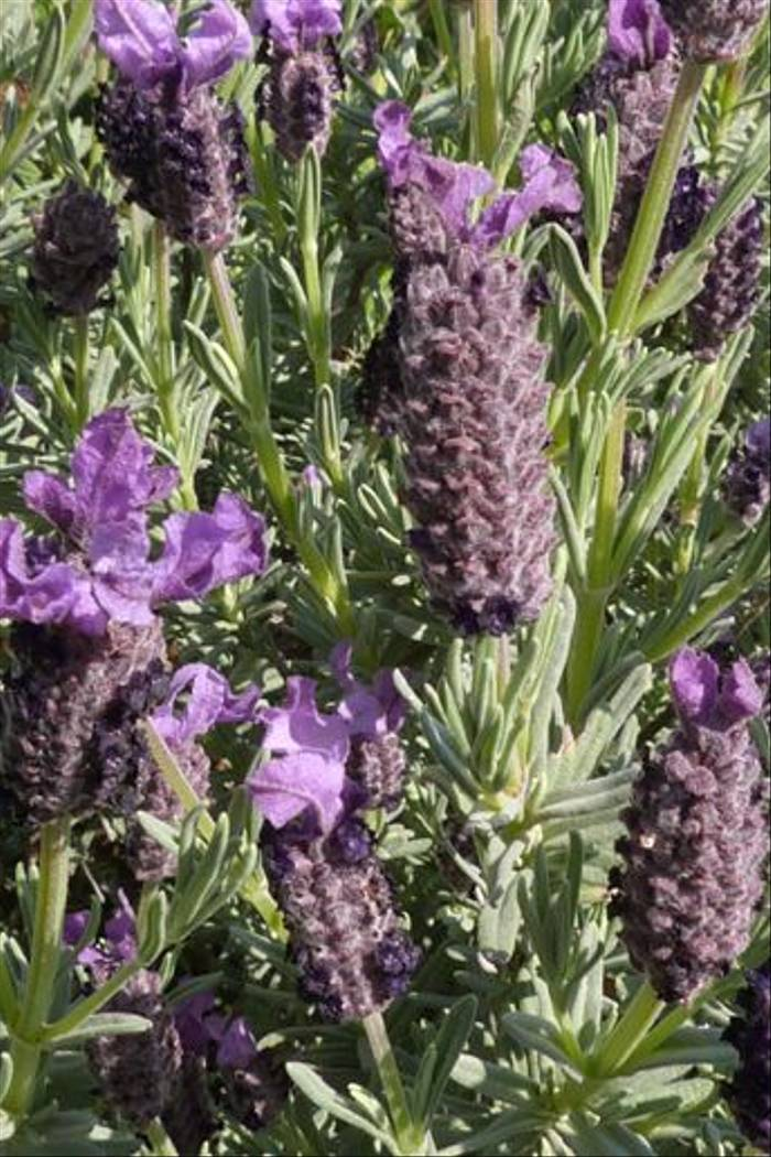 Lavandula stoechas, French Lavender, Vinassan