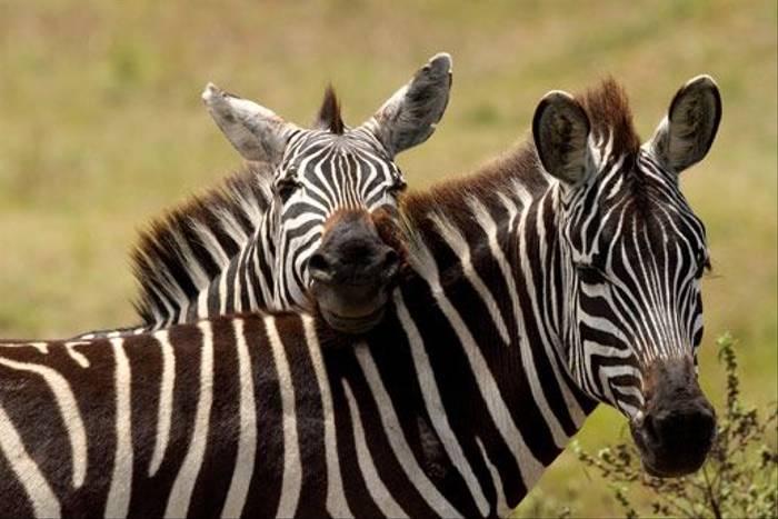 Burchell's Zebra (Bret Charman)