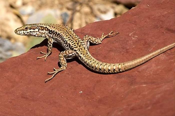 Iberian Rock Lizard (Colin Brown)