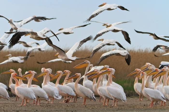 White Pelicans, Danube Delta, Romania. shutterstock_79886698.jpg