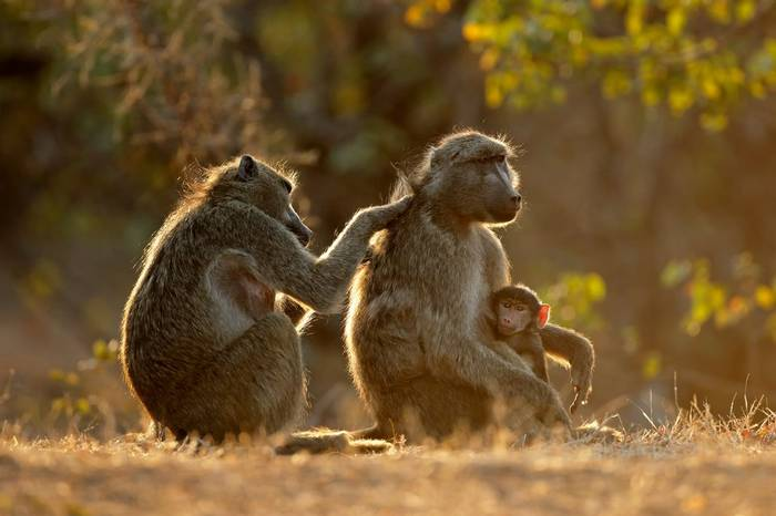 Chacma Baboon, Kruger Shutterstock 1124380814