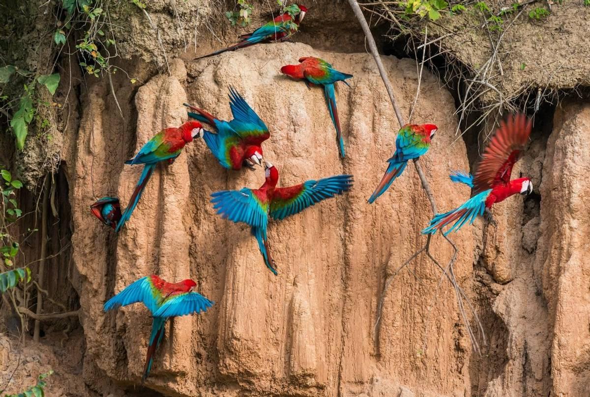 Peru (Macaws At Claylick In Madre De Dios)