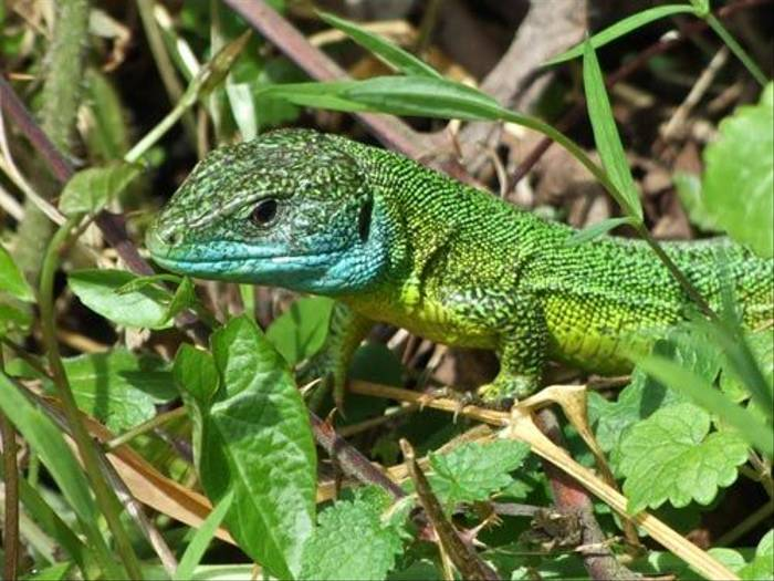 Ocellated Lizard (John Willsher)