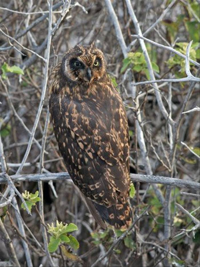 Short-eared Owl (John Willsher)