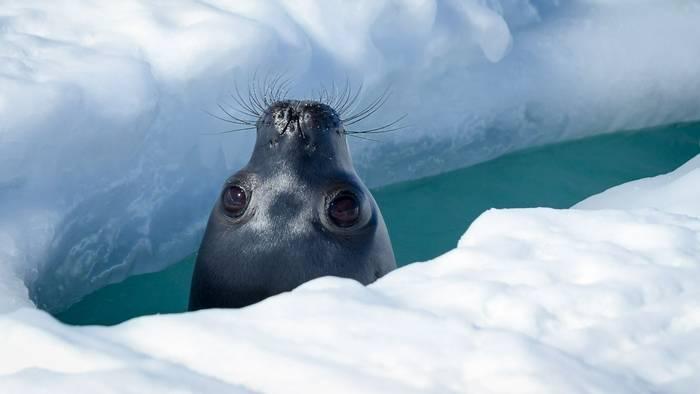 Weddel Seal, Antarctica Shutterstock 1068226871