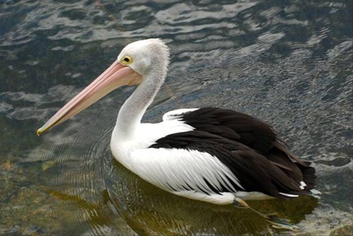 Australian Pelican (Andrew Rest)