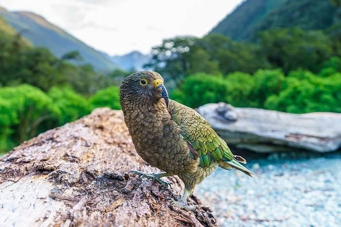 Kea, New Zealand Shutterstock 1257436585