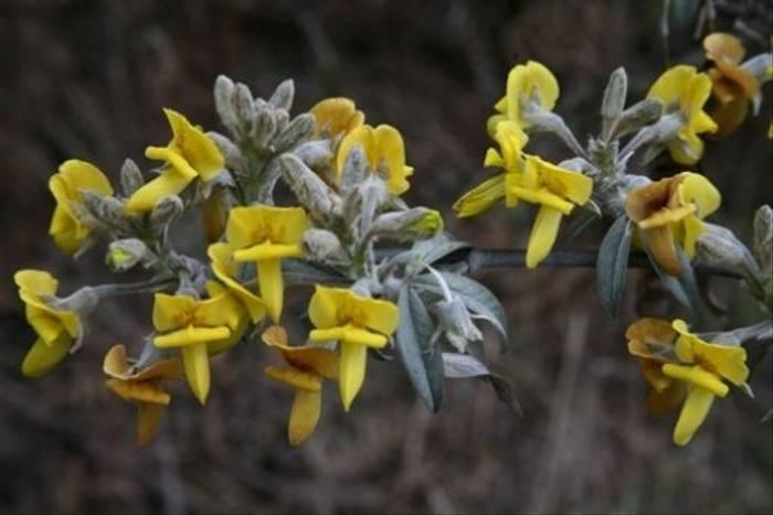 <i>Piptanthus lanuginosus</i> (David Tattersfield)