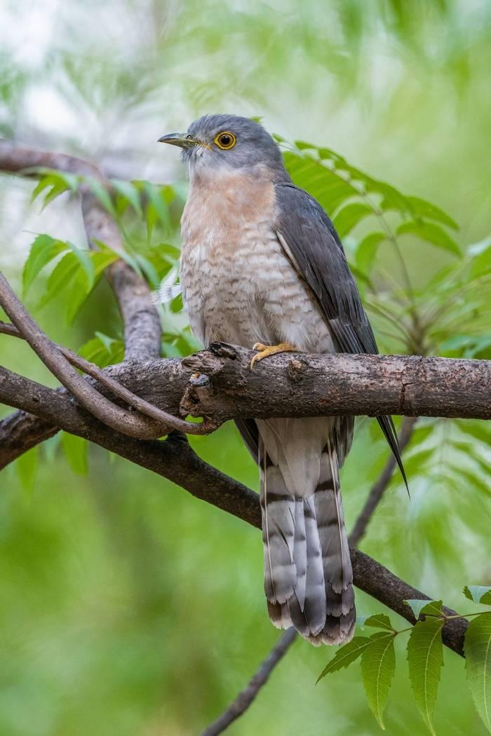 Common Hawk-Cuckoo, Cambodia shutterstock_1399747793.jpg
